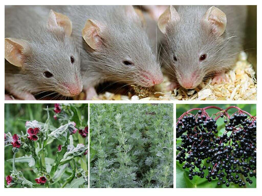 Трава от мышей